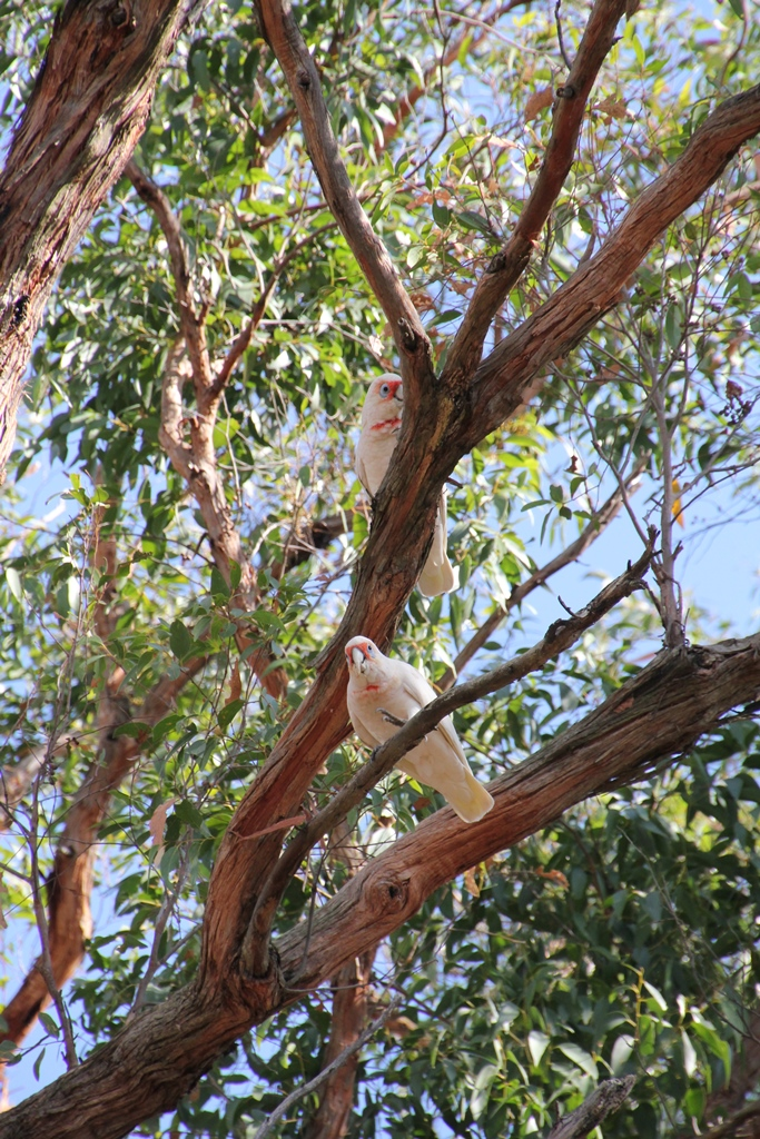 Long_Billed Corella