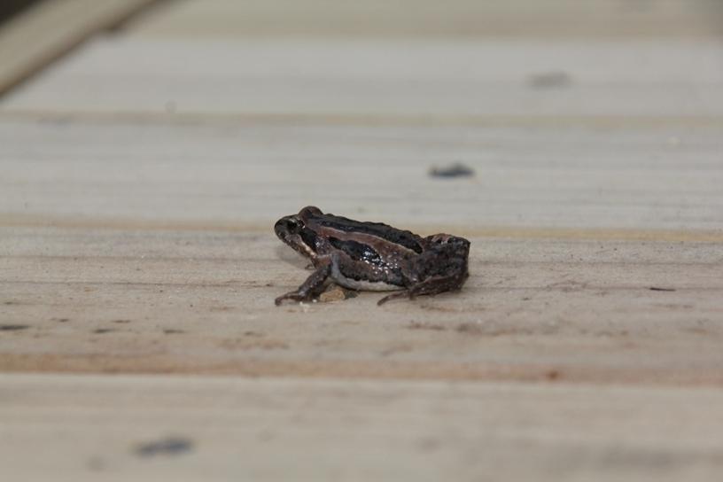 Eastern Froglet