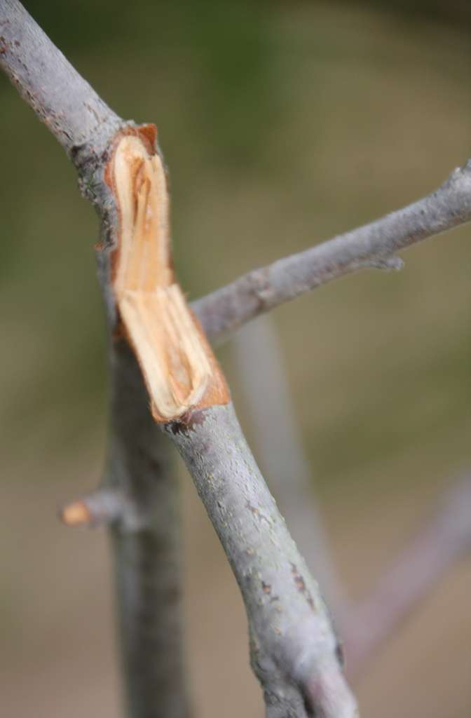 Kangaroo damaged branch