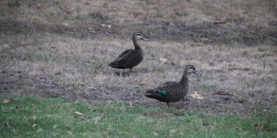 A pair of Pacific Black Duck