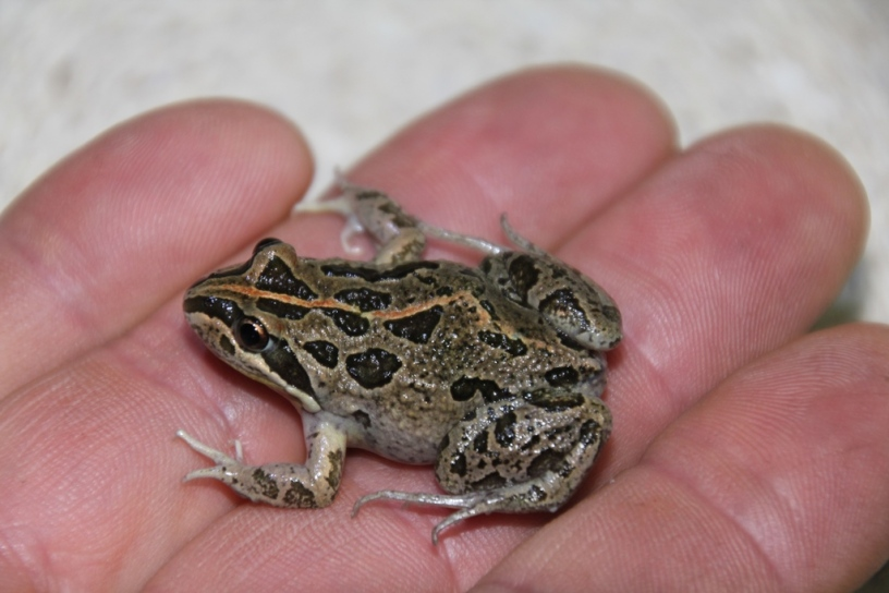 Spotted Grass Frog