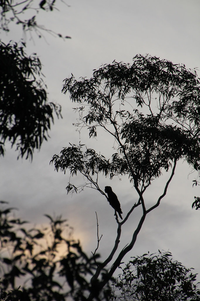 Silhouette of a Yellow-Tailed Black Cockatoo