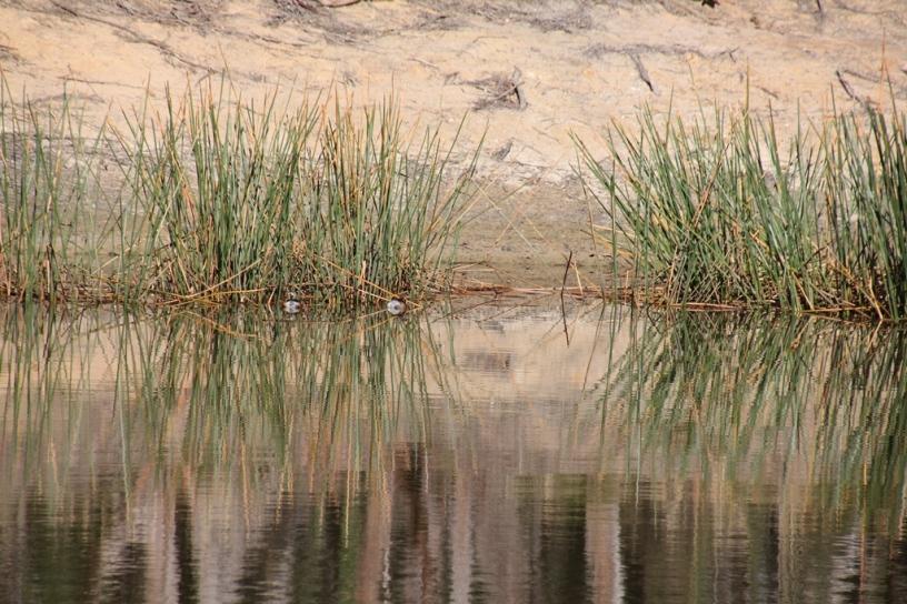 Australasian Grebe