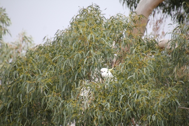 Cockatoo Eating Gumnuts