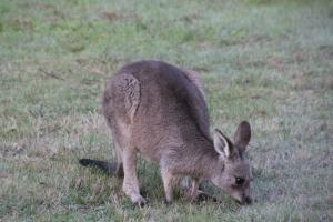 Young Eastern Grey Kangaroo Female
