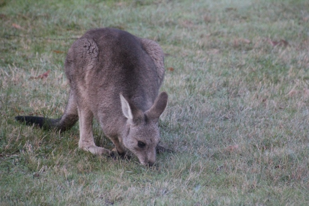 Young Eastern Grey Kangaroo  Female
