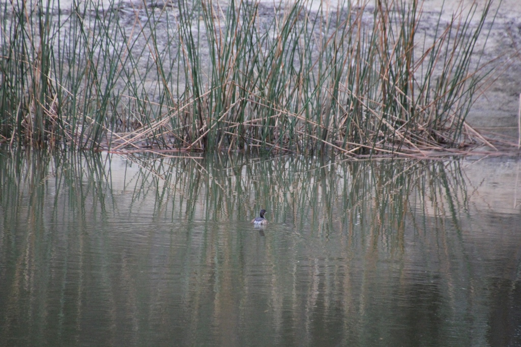Australasian Grebe and Reeds