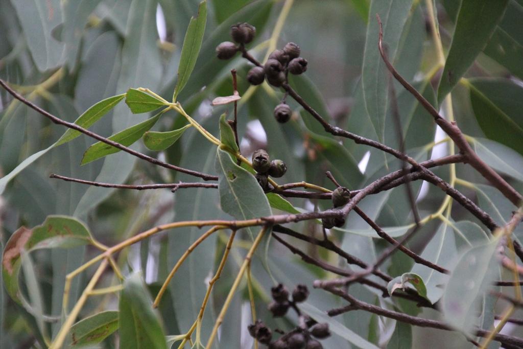 Gumnuts