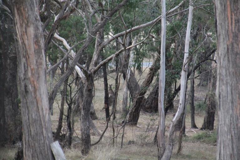 Kangaroo from my study window.