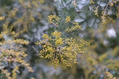 Acacia Blossom