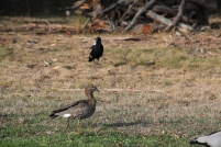 Magpie V. Ducks 02