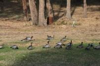 Magpie V. Ducks 04