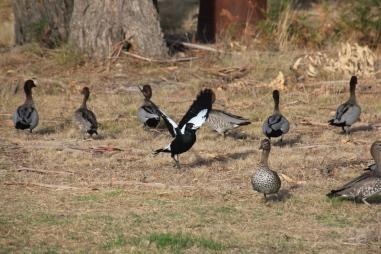 Magpie V Ducks 05