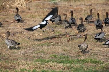 Magpie V Ducks 06