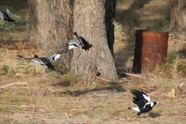 Magpie V. Ducks 07