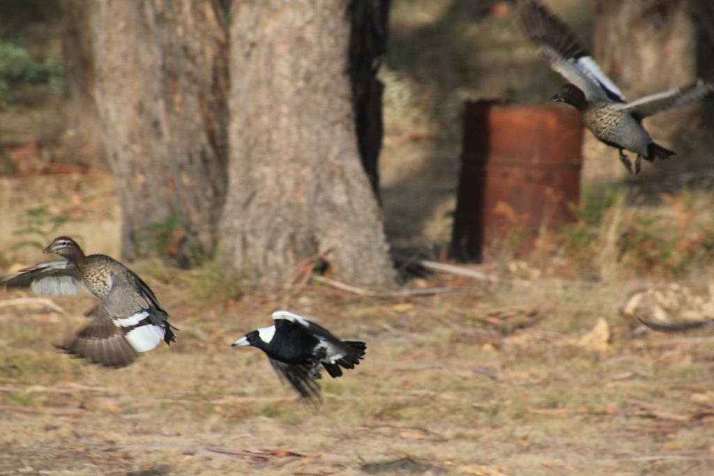 One Magpie v. More than Twenty Ducks