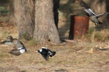 Magpie V. Ducks 08