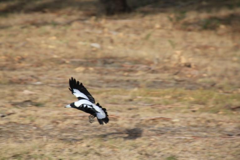 Magpie V Ducks 09