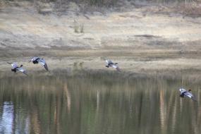 Magpie V. Ducks 10