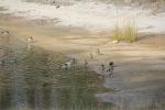 Magpie V Ducks 12