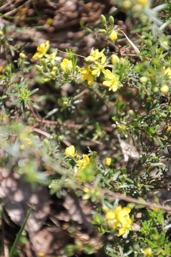 Guinea Flower