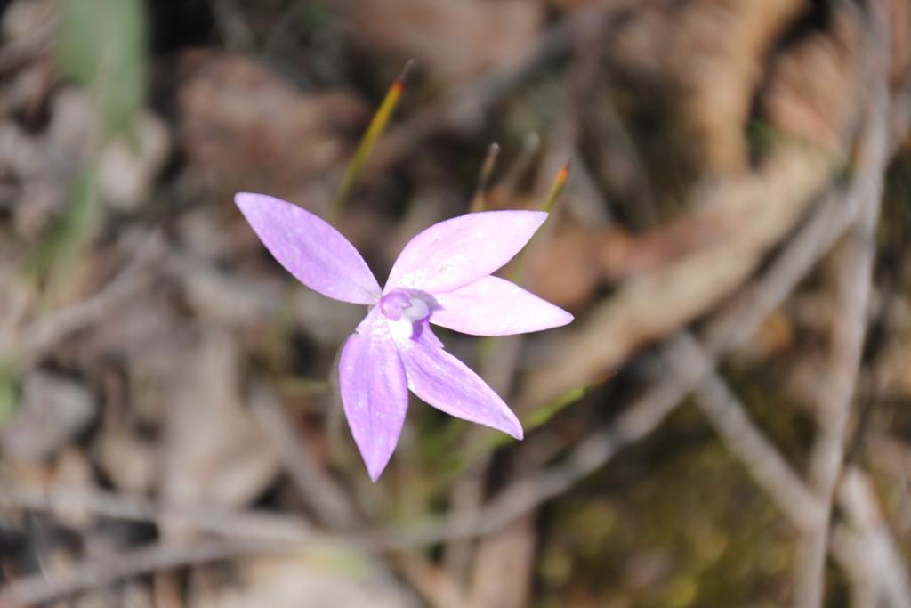 Wax-lip Orchid
