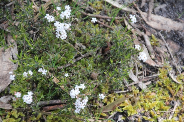 White Flowered Ground Cover