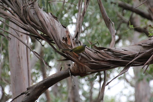White-Eared Honeyeate