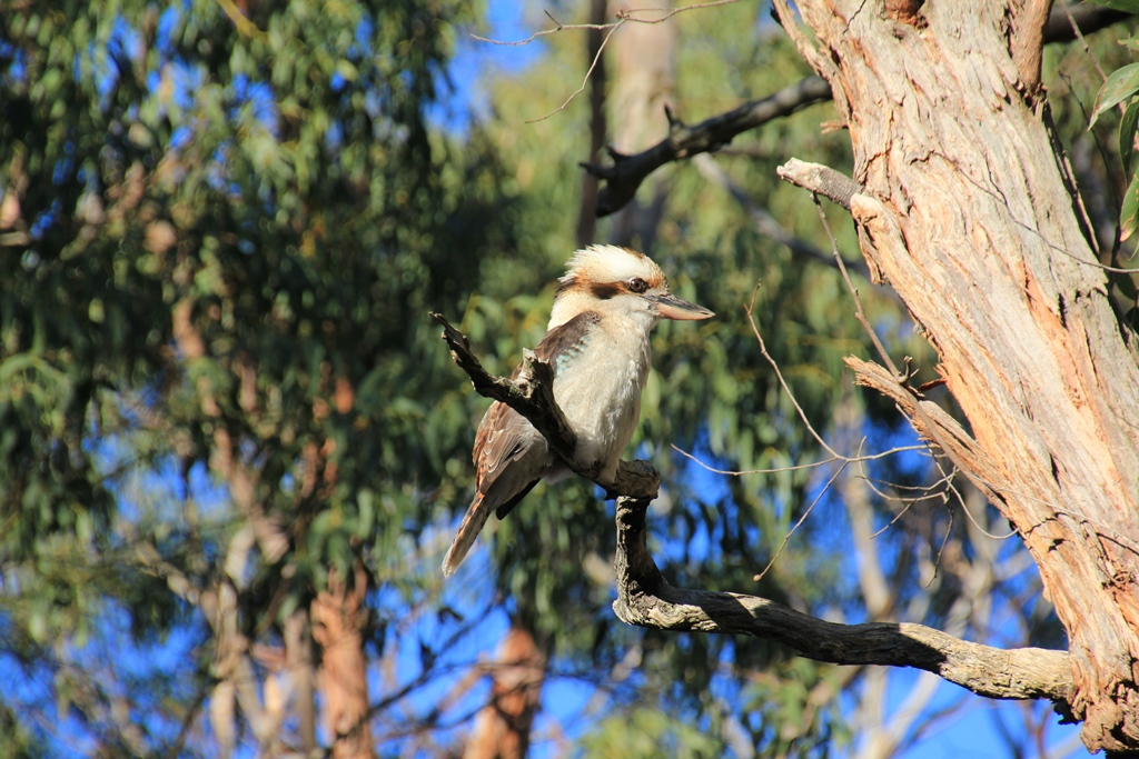 Kookaburra in WinterSun