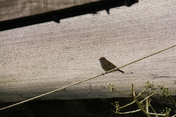 Striated Thornbill 6