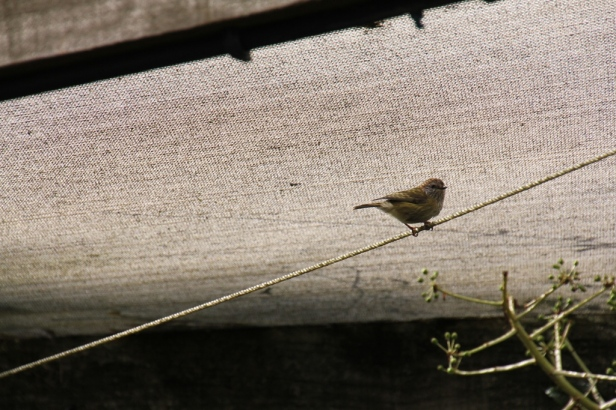 Striated Thornbill 7