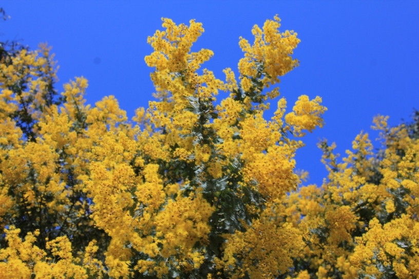 Acacia against sky