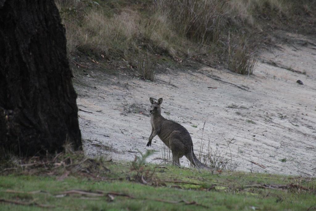 Young Male Kangaroo