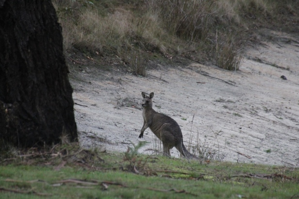 Young Male Kangaroo