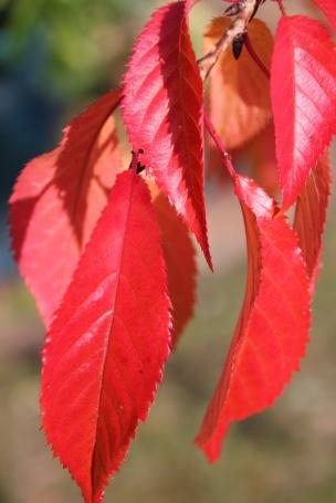 Autumn Weeping Cherry