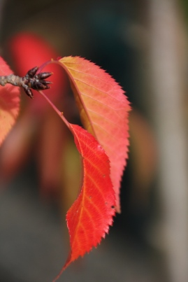 Autumn Weeping Cherry