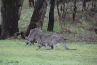 relaxed kangaroos