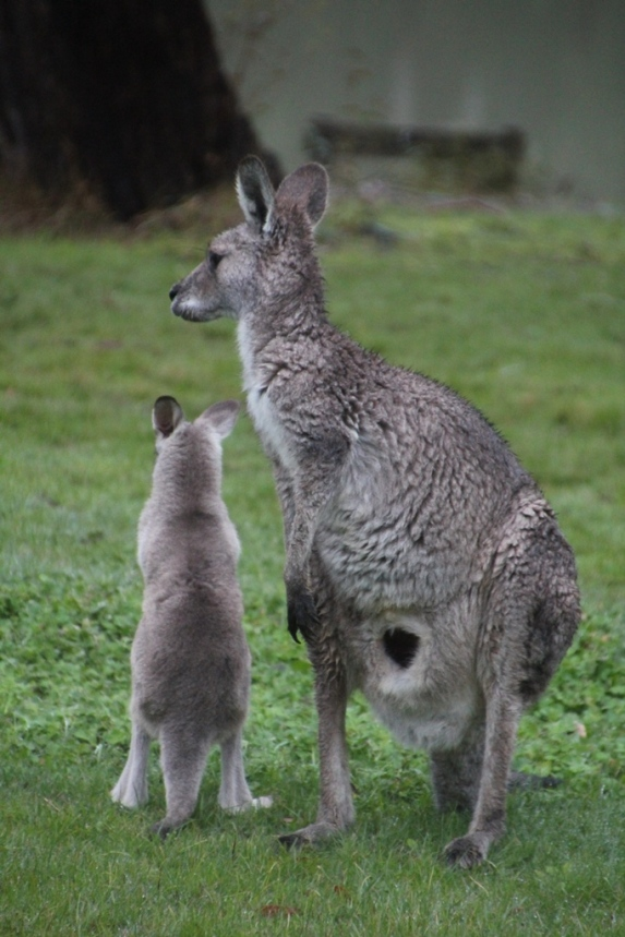 One of the other kangaroos moved and the joey was very keen to see where it was going. In this photo the opening of the pouch is very visible.
