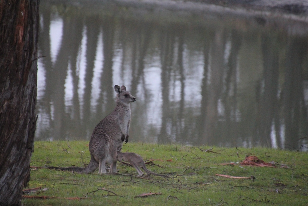 Eastern Grey Kangaroos – Joey