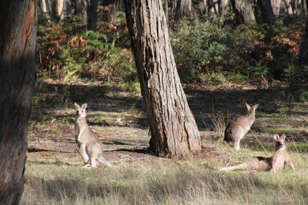 Eastern Grey Kangaroos