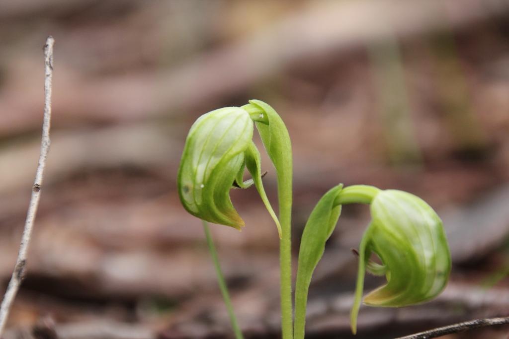Nodding Greenhoods