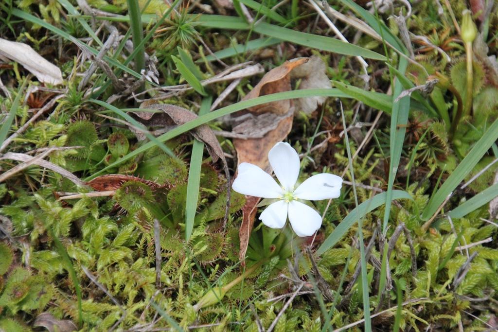 Scented Sundew:  Drosera whittakeri ssp.aberrans