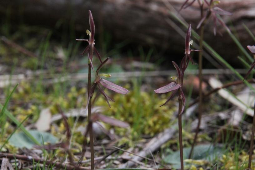 Gnat Orchids 2