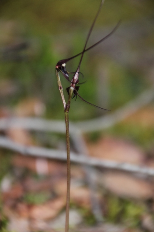 Mayfly Orchids 2