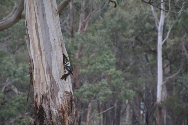 Kookaburra and hollow