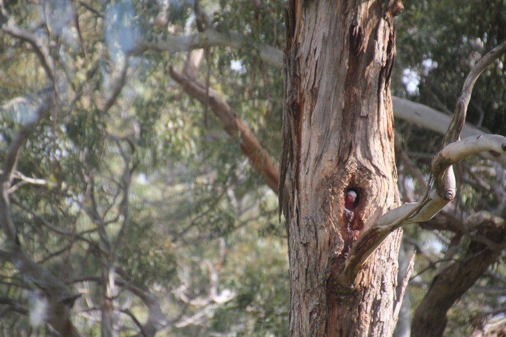 Galah in Hollow