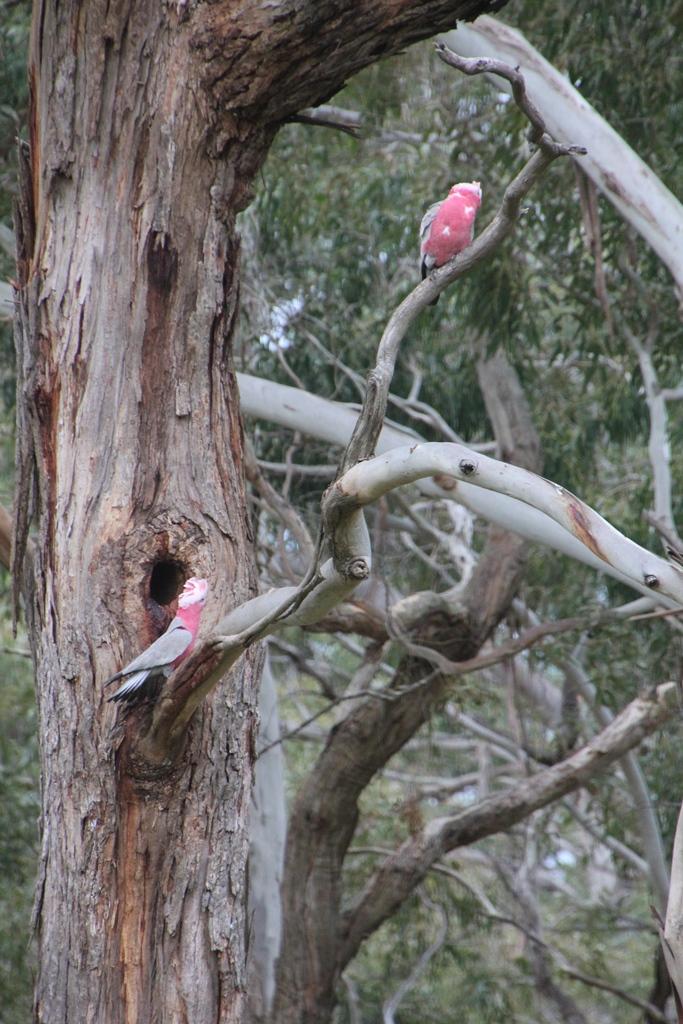 Galas  nesting site