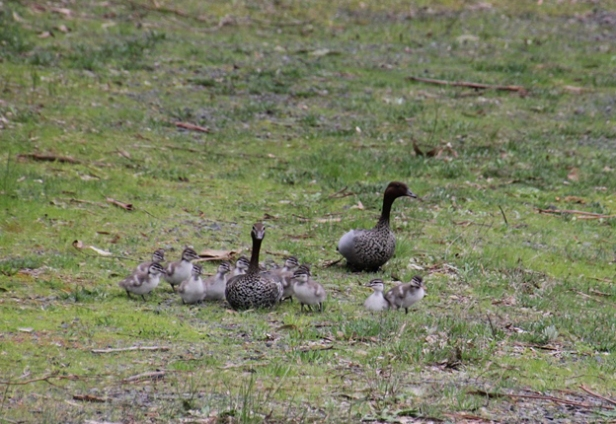 Twelve Ducklings with two adult Australian Wood Duck.
