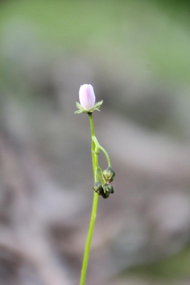 Pink  Sundew Flower