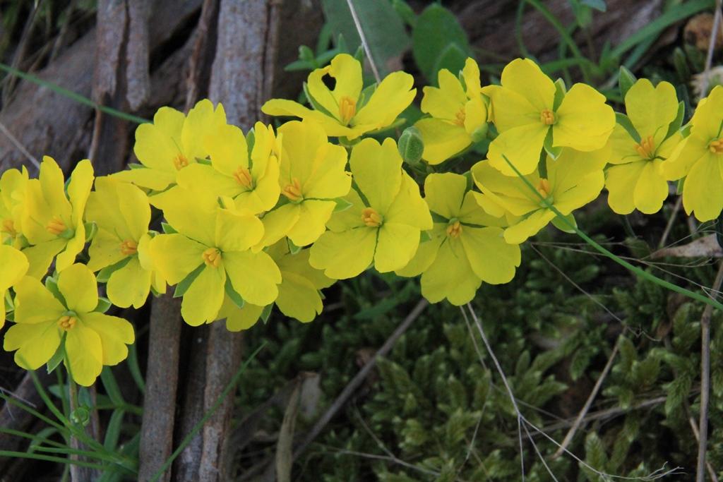 Erect Guinea-flower (Hibbertiariparia)